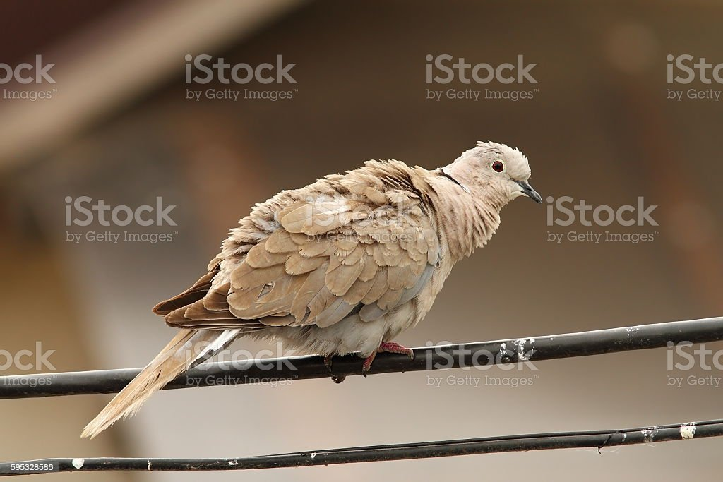 turtledove on electric wire stock photo