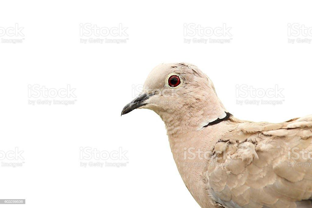 turtledove portrait over white stock photo