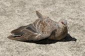 Turtledove sunbathing