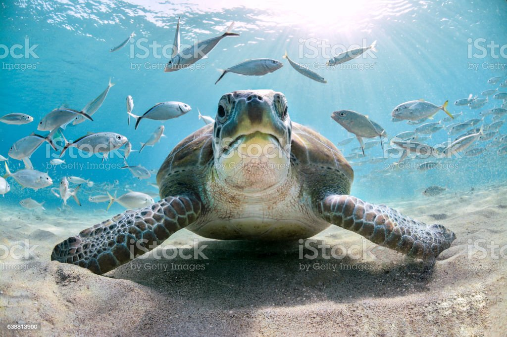 Turtles and school of fish stock photo