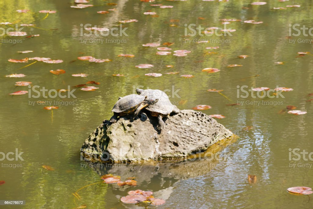 Turtles busk in the pond stock photo