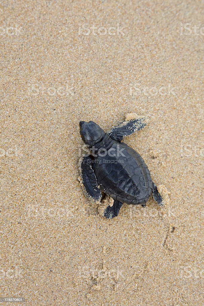 turtles give birth and get out from sand stock photo