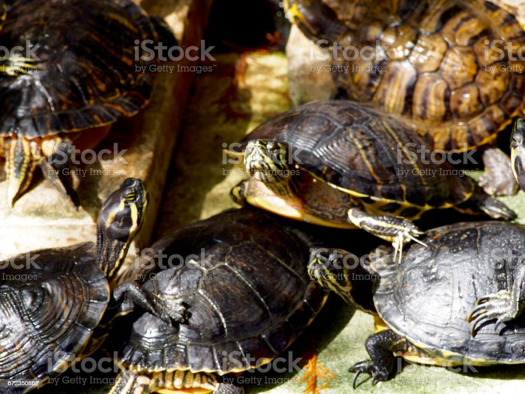 Turtles in a pond stock photo