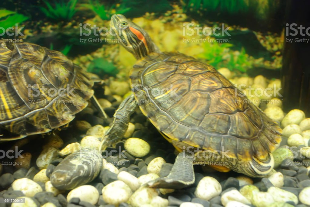 Turtles in an aquarium. stock photo