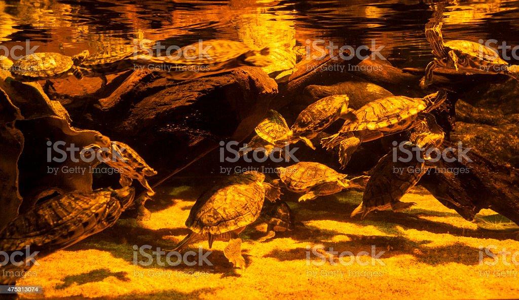 Turtles in Aquarium stock photo