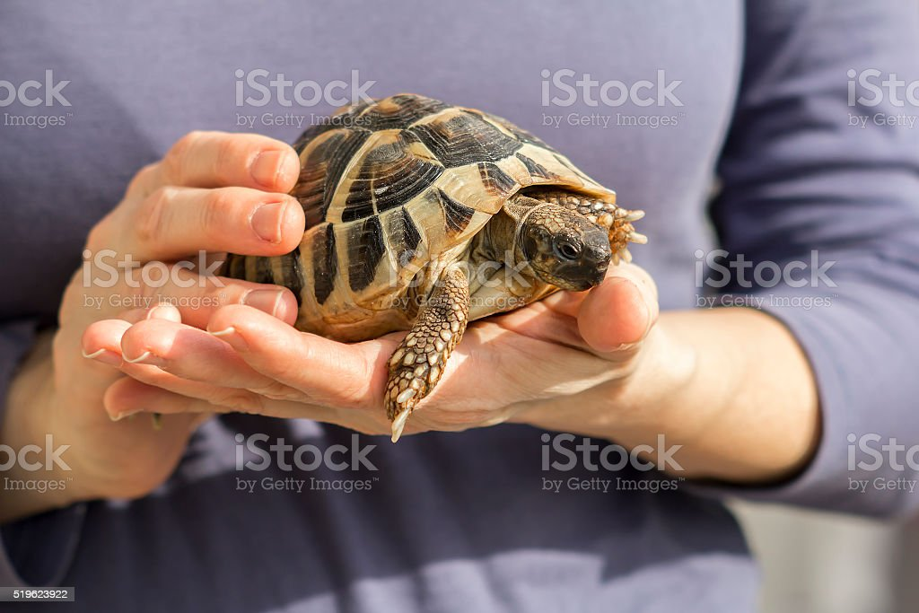 Turtles in the hands of a woman stock photo