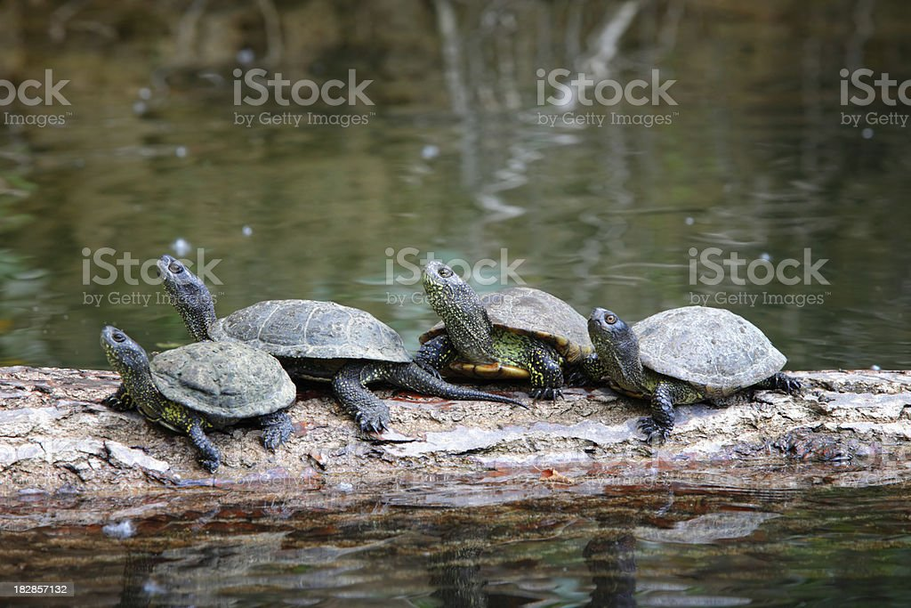 Turtles in Their Natural Habitat stock photo