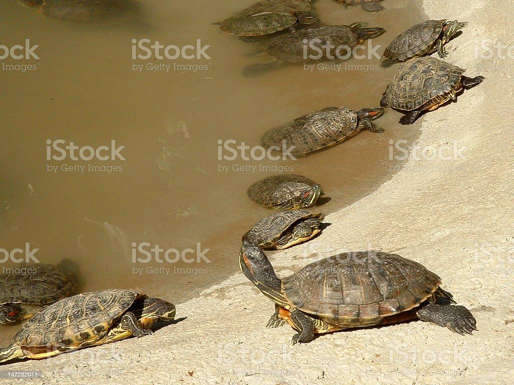 Turtles in zoo Safari royalty-free stock photo