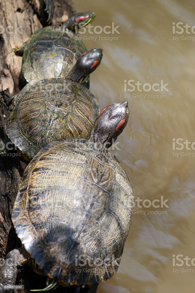 Turtles Lining up on a Log stock photo