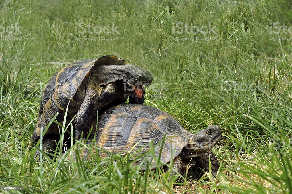 Turtles making love royalty-free stock photo