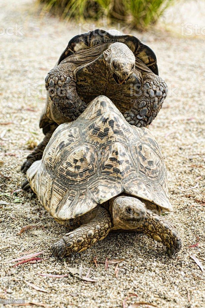 Turtles making love stock photo