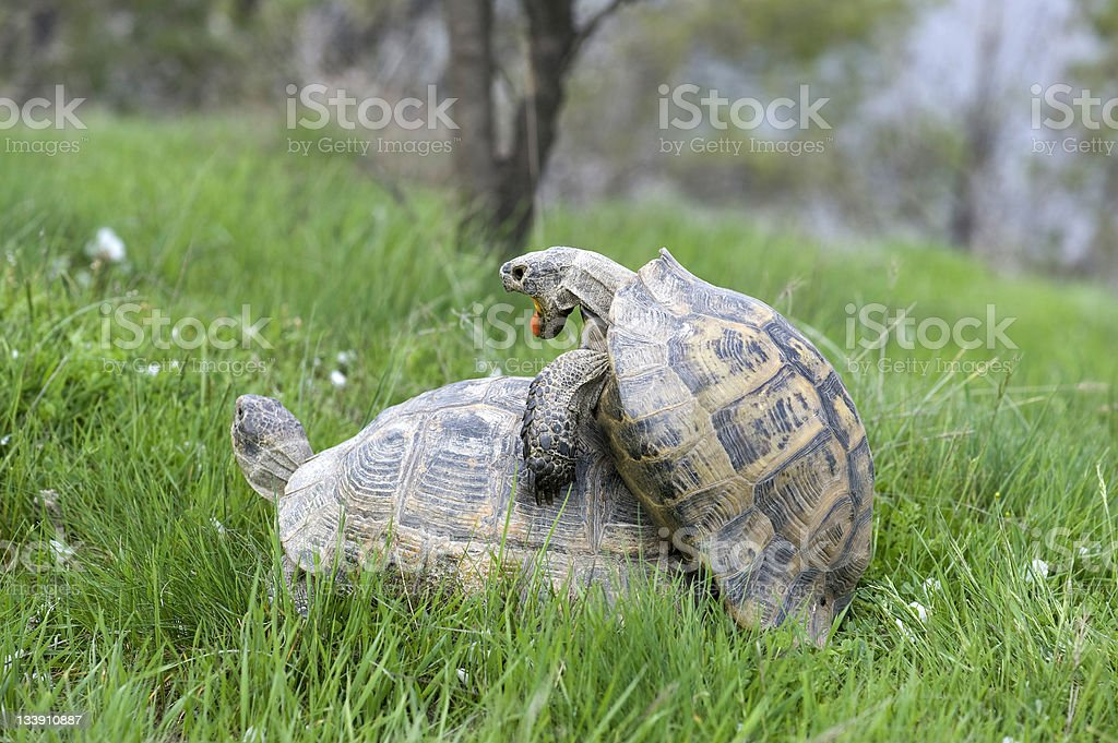 turtles mating stock photo