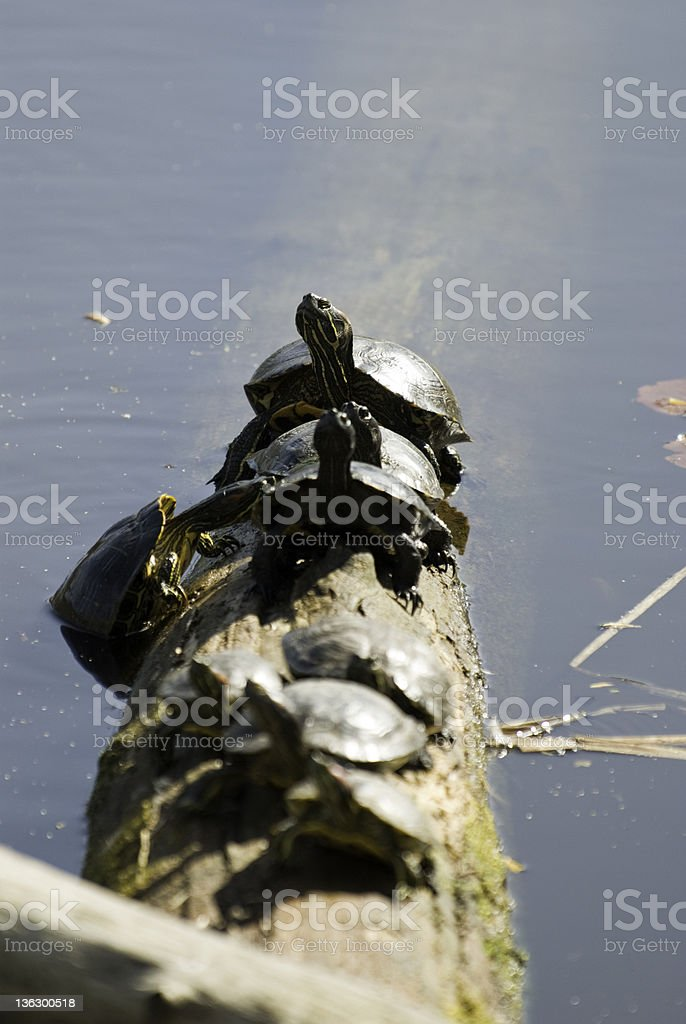 Turtles On a Log royalty-free stock photo