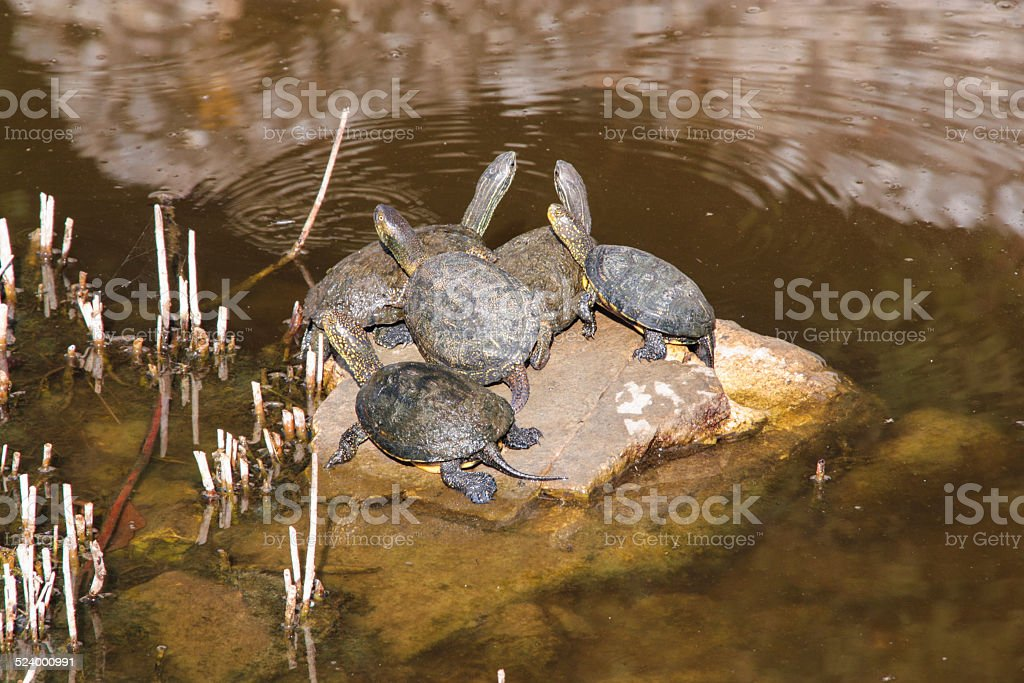 Turtles on a rock stock photo