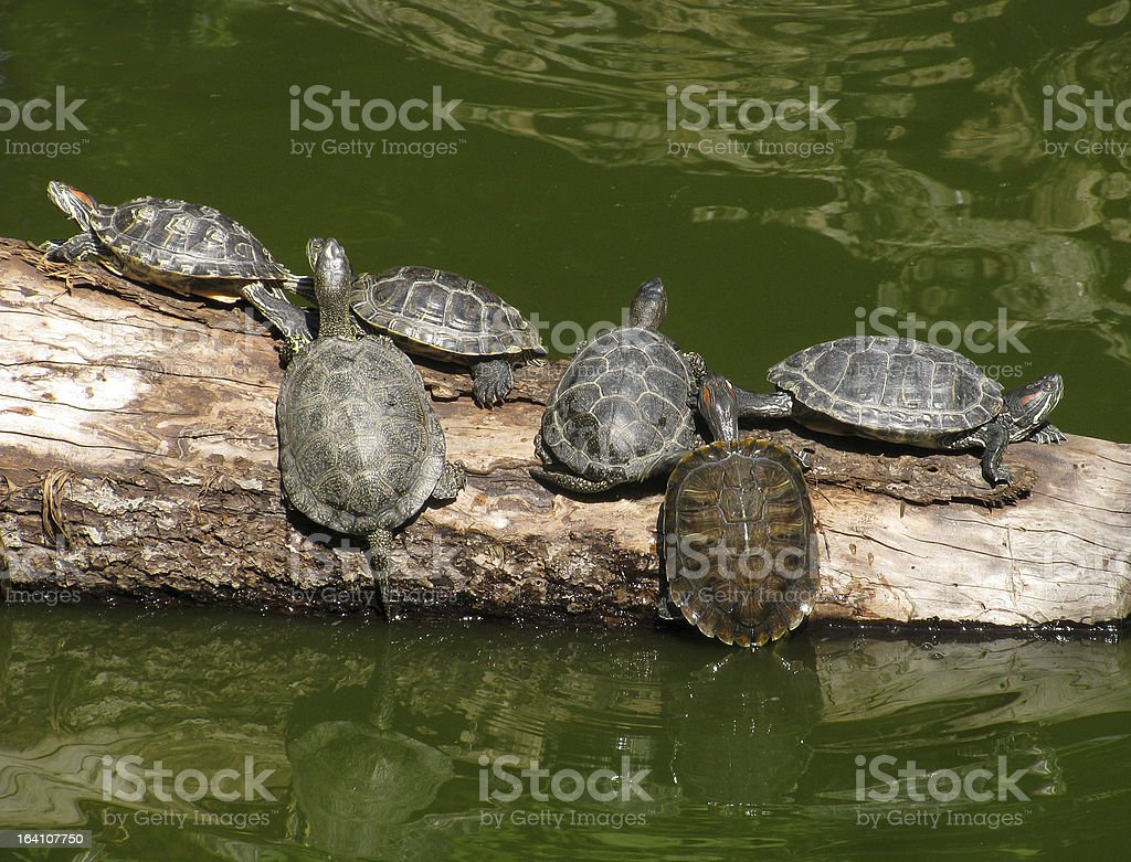 turtles on a trunk of tree royalty-free stock photo