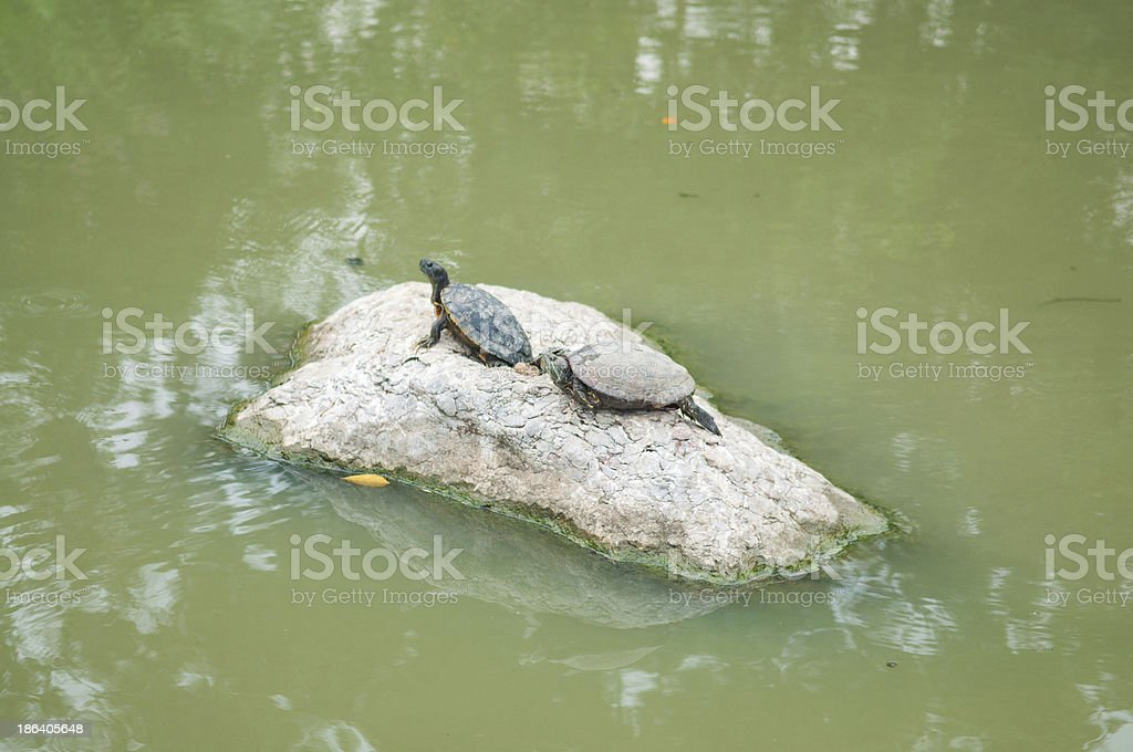 Turtles on rock in pool park stock photo