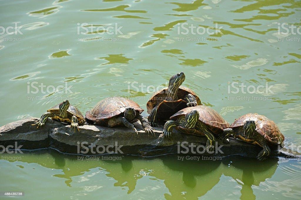 Turtles on the lake stock photo