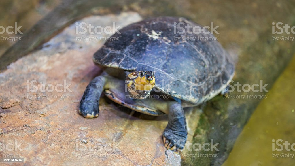 Turtles on the stone in the pond. stock photo