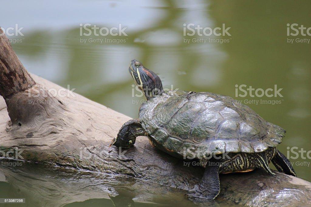 Turtles on the tree stock photo