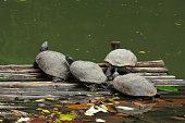 Turtles on the wood pallet in water