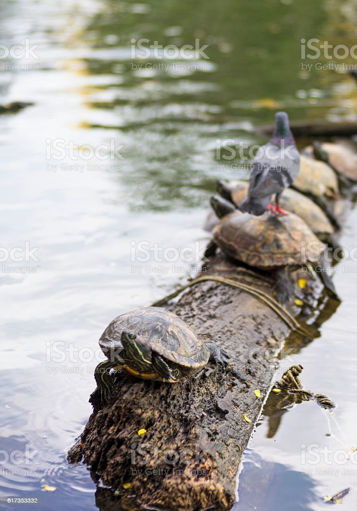 Turtles on the wooden log stock photo