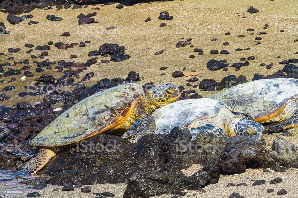 Turtles on volcanic beach stock photo