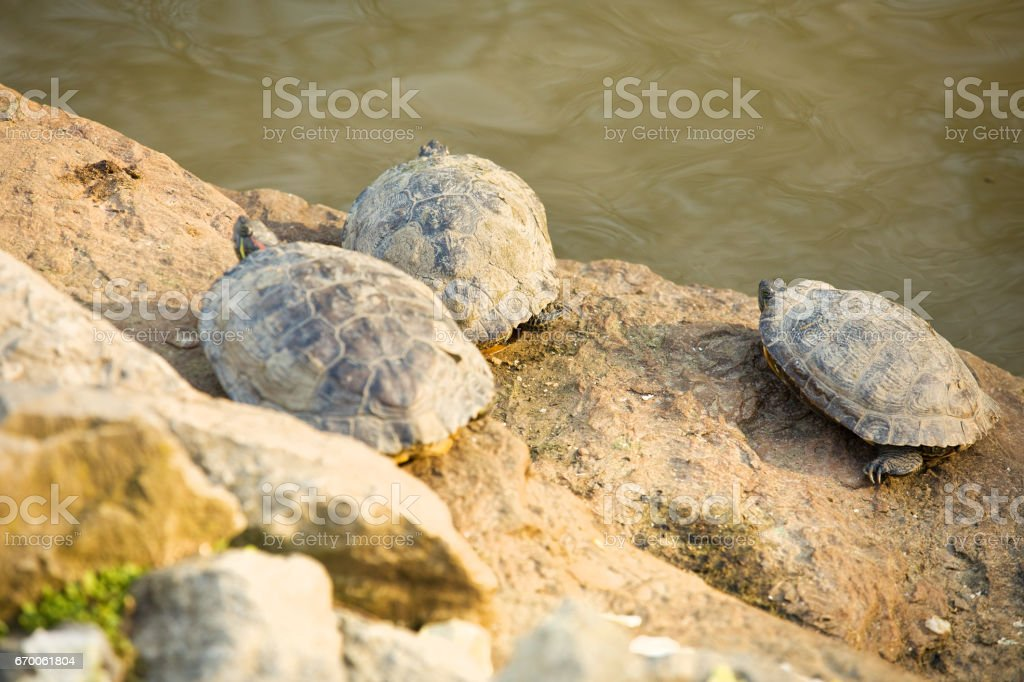 Turtles Or Rocks? stock photo