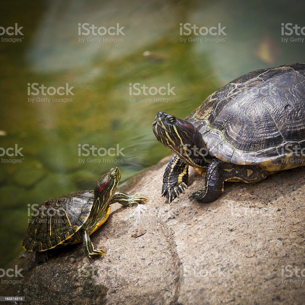 Turtles royalty-free stock photo