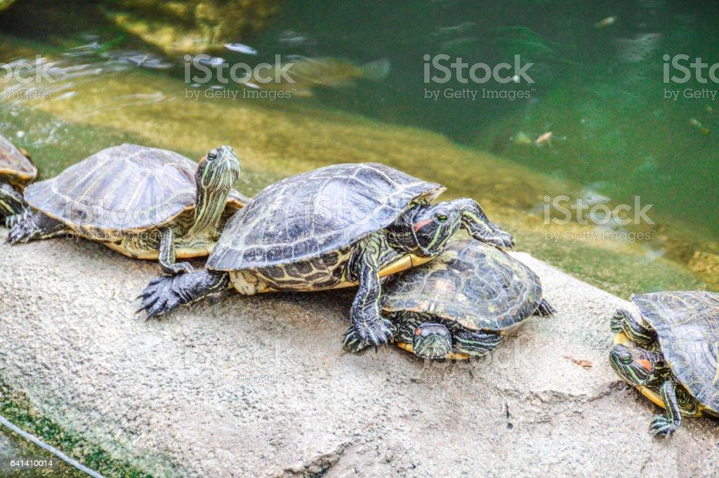 Turtles stock photo