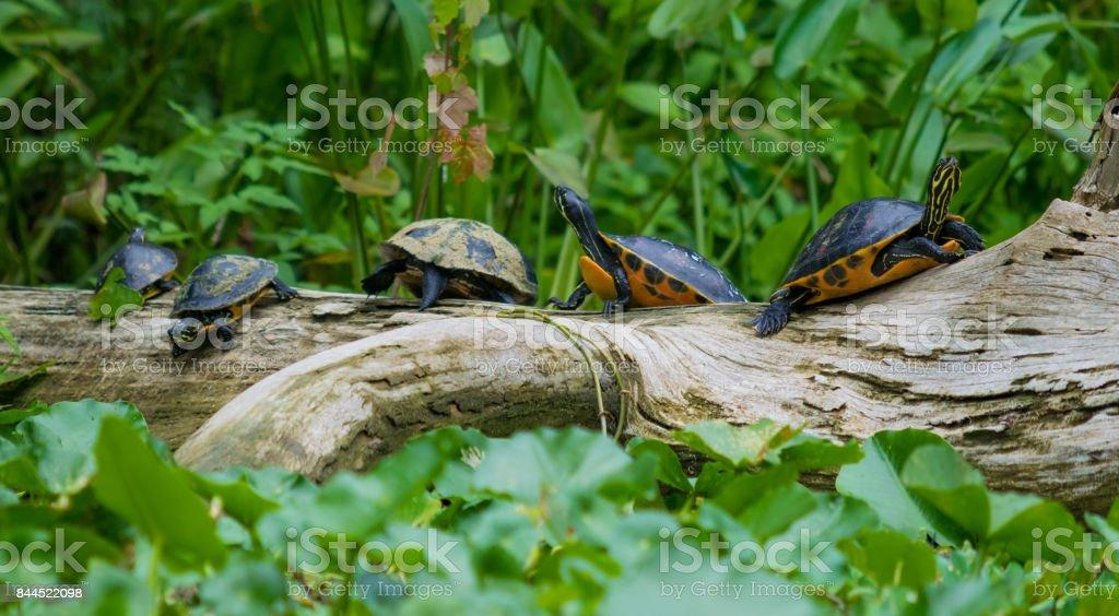 Turtles Sunning on a Log stock photo