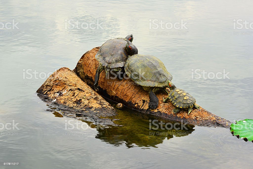 Turtles Taking A Sunbath royalty-free stock photo
