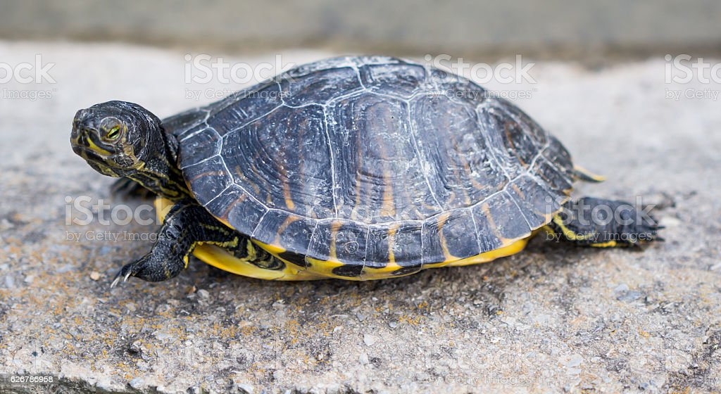 Turtles/ Turtles on the stone. / Beautiful turtles stock photo