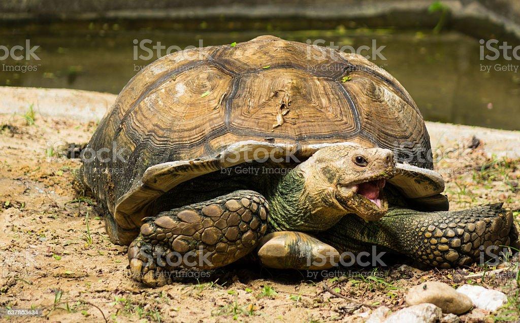 Turtle,Sulcata tortoise, Thailand zoo stock photo