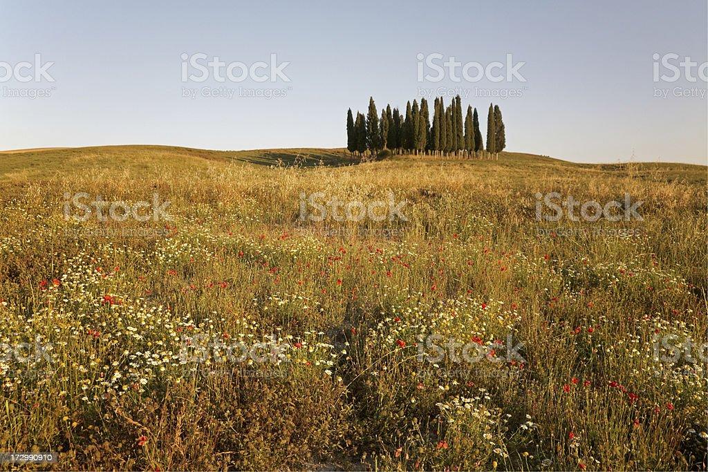 Tuscan cypress trees II royalty-free stock photo