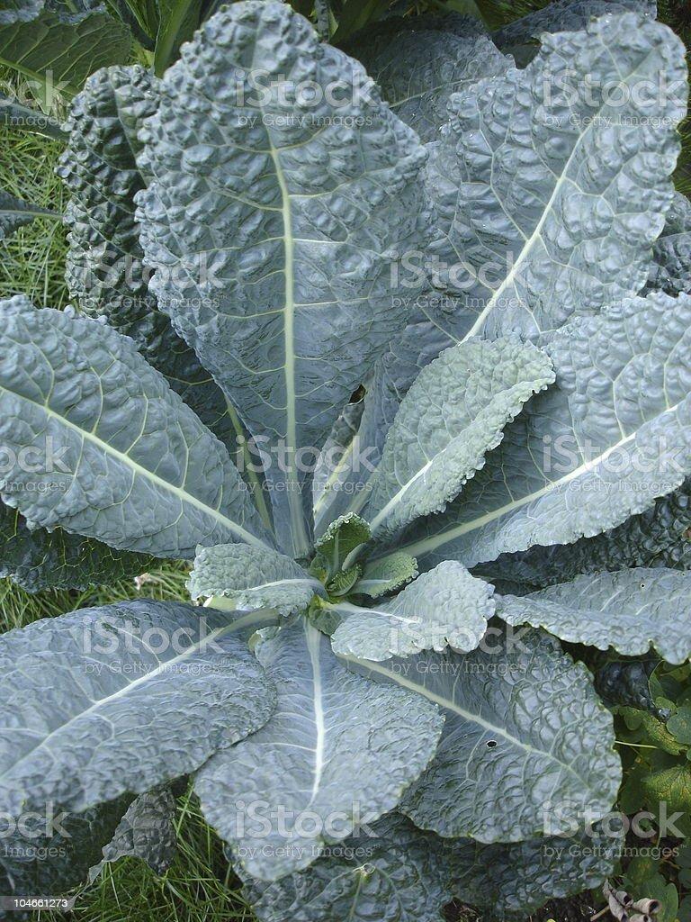 Tuscan Kale royalty-free stock photo