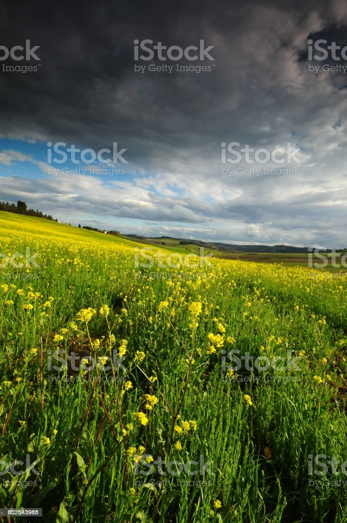 Tuscan landscape with yellow rape flowers and blue cloudy sky near Castellina in Chianti, Siena. Italy. stock photo