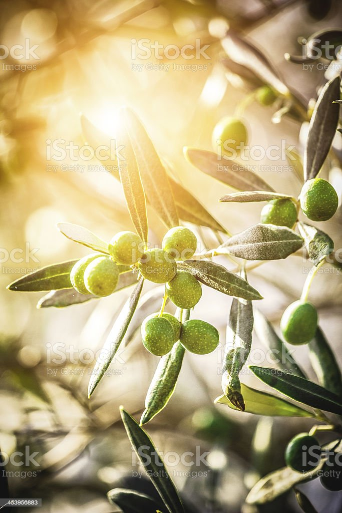 Tuscan Olives stock photo