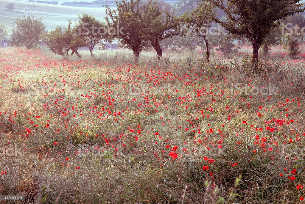 Tuscan Poppies at Dawn stock photo