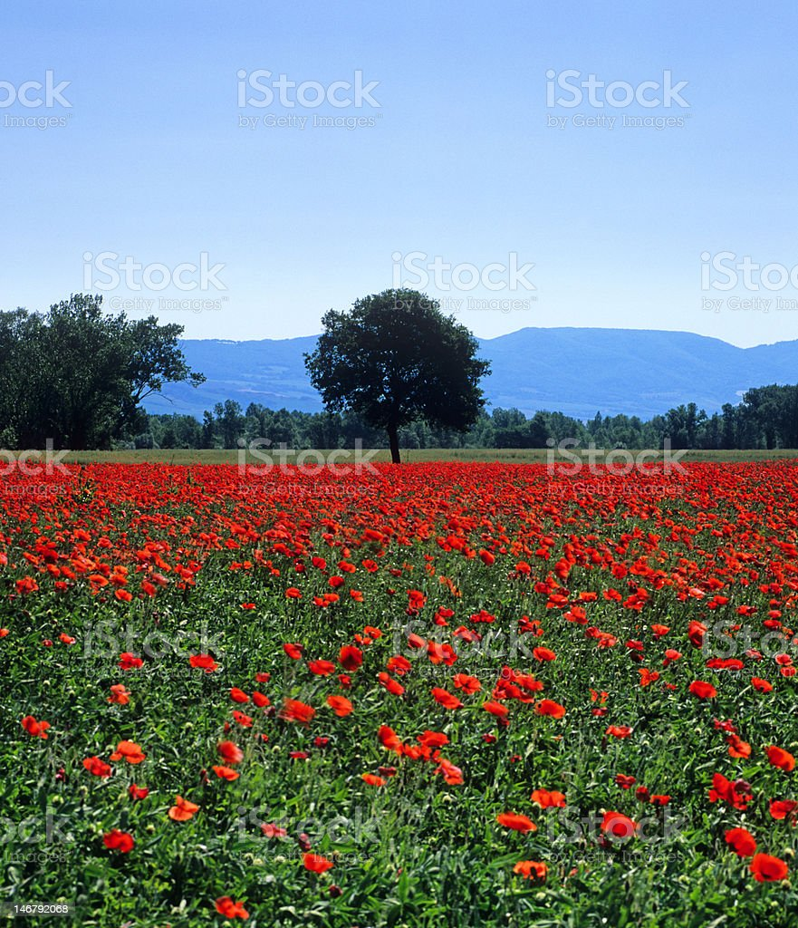Tuscan poppy field in spring royalty-free stock photo