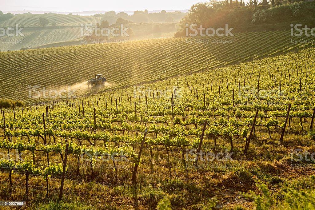 Tuscan vineyard at sunrise stock photo