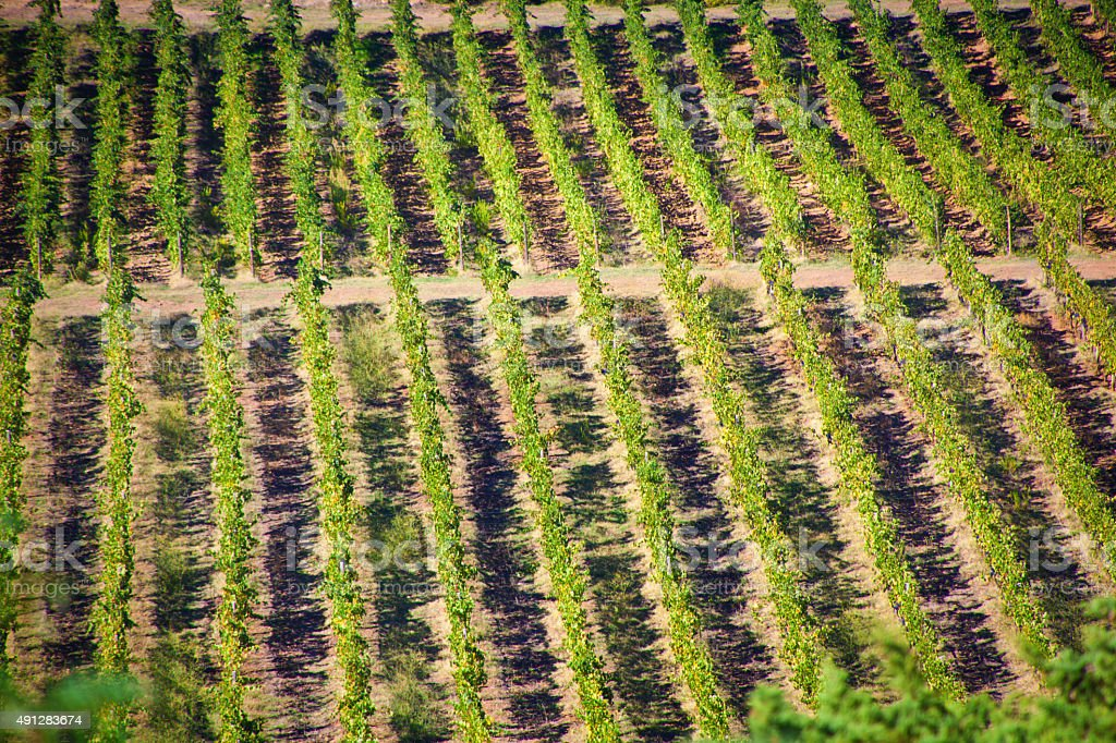 Tuscan Vineyard with Sangiovese Grape Ready for Harvest stock photo