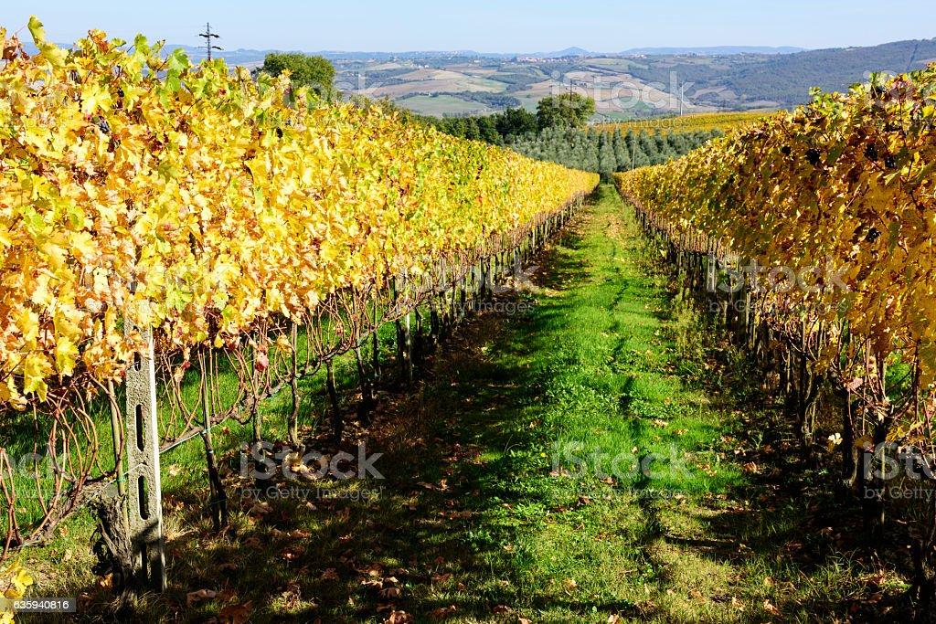 Tuscan Vineyards in Autumn stock photo