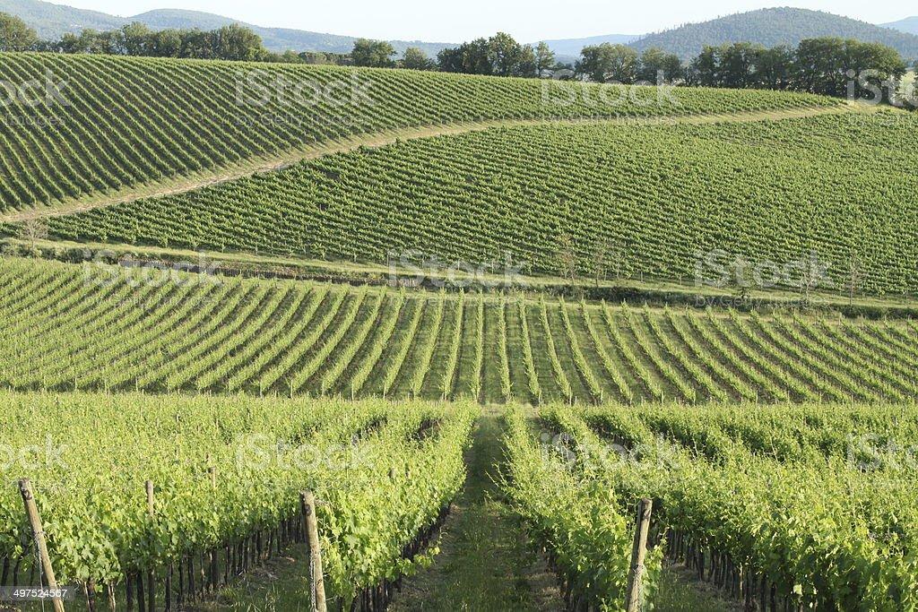 Tuscan vineyards royalty-free stock photo