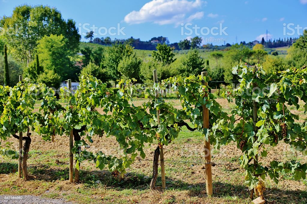 Tuscany, Italy -Young Grapevines stock photo