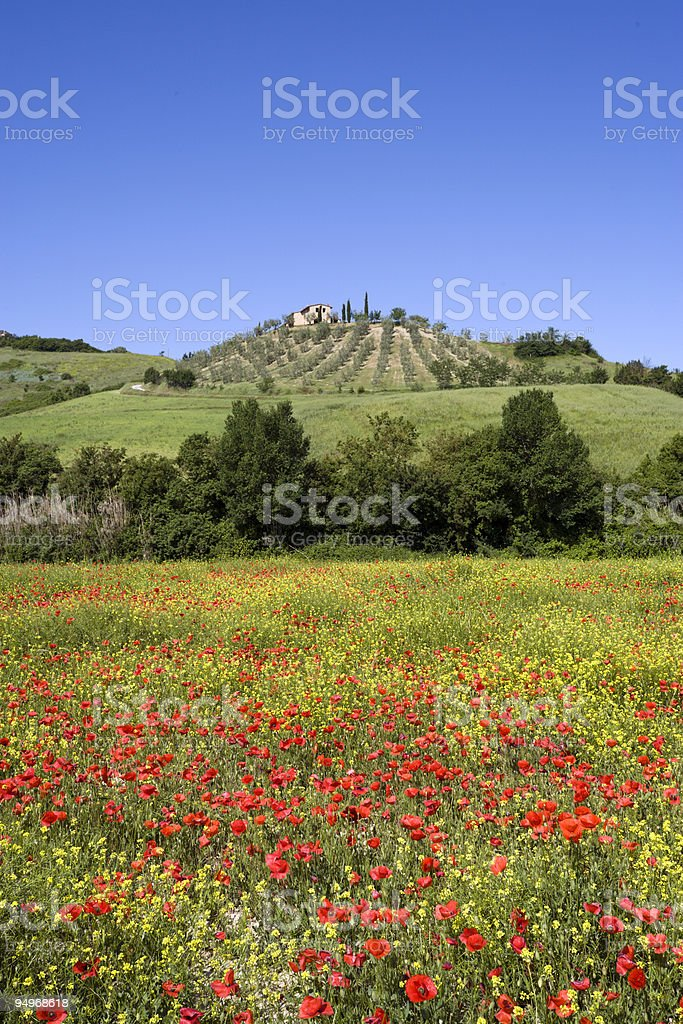 tuscany landscape with olive tree plantation in spring royalty-free stock photo