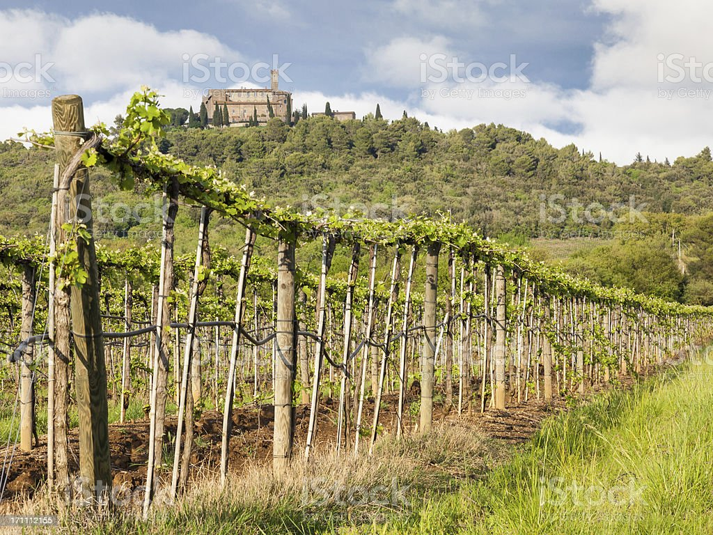 Tuscany lines of Sangiovese grapes royalty-free stock photo