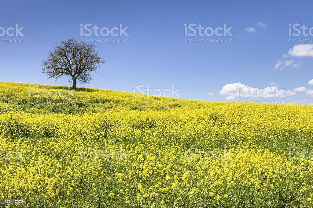 Tuscany rapeseed in springtime royalty-free stock photo
