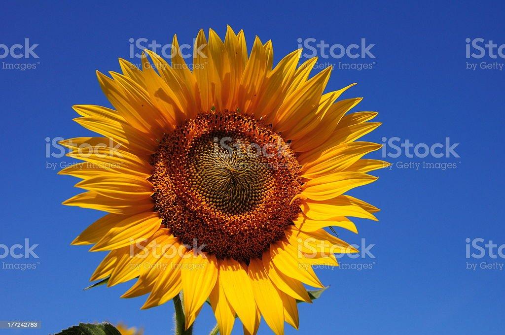 Tuscany Sunflower royalty-free stock photo