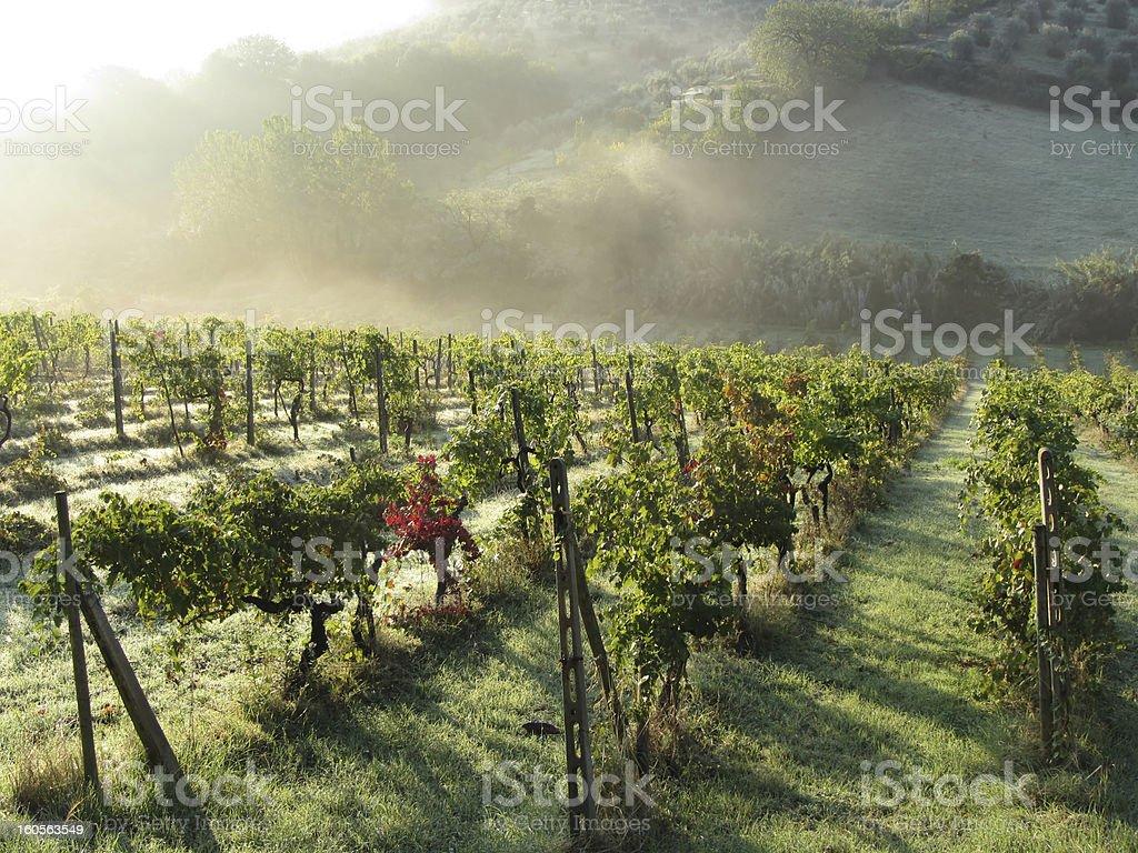 Tuscany Vineyard- Early Morning stock photo