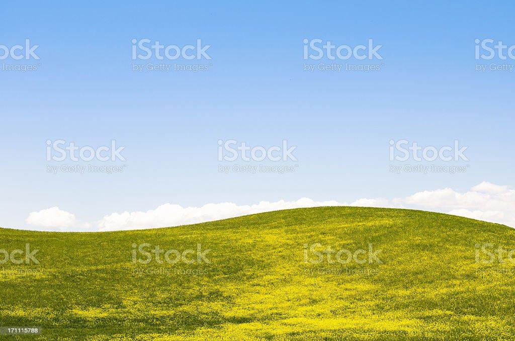 Tuscany wheat landscape with canola flower royalty-free stock photo